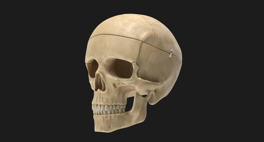 Modèle anatomique de crâne royalty-free 3d model - Preview no. 7
