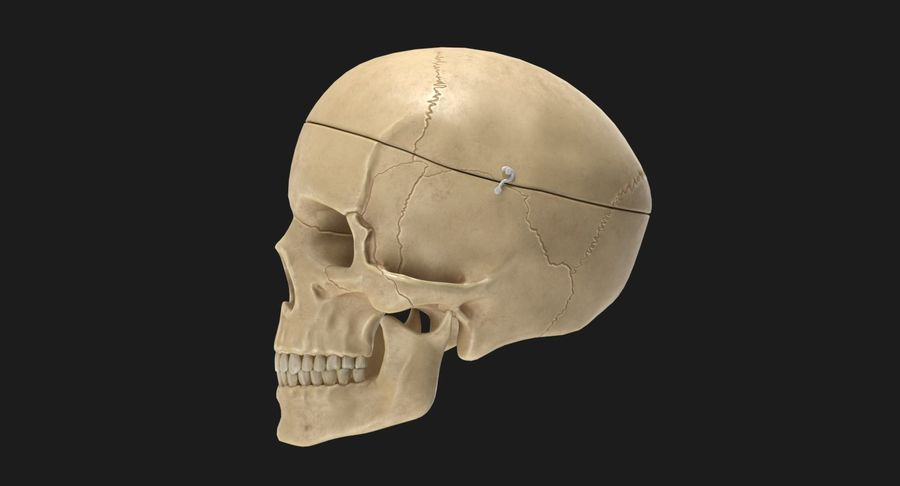 Modèle anatomique de crâne royalty-free 3d model - Preview no. 6