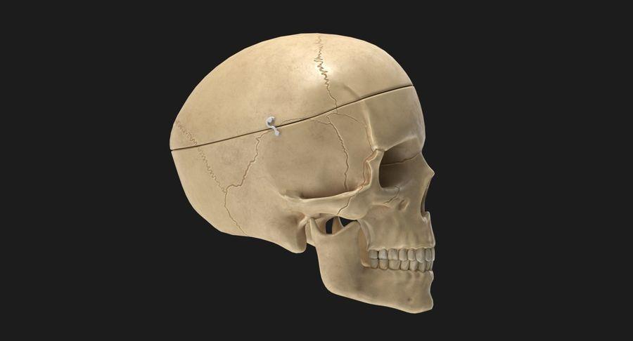 Modèle anatomique de crâne royalty-free 3d model - Preview no. 4