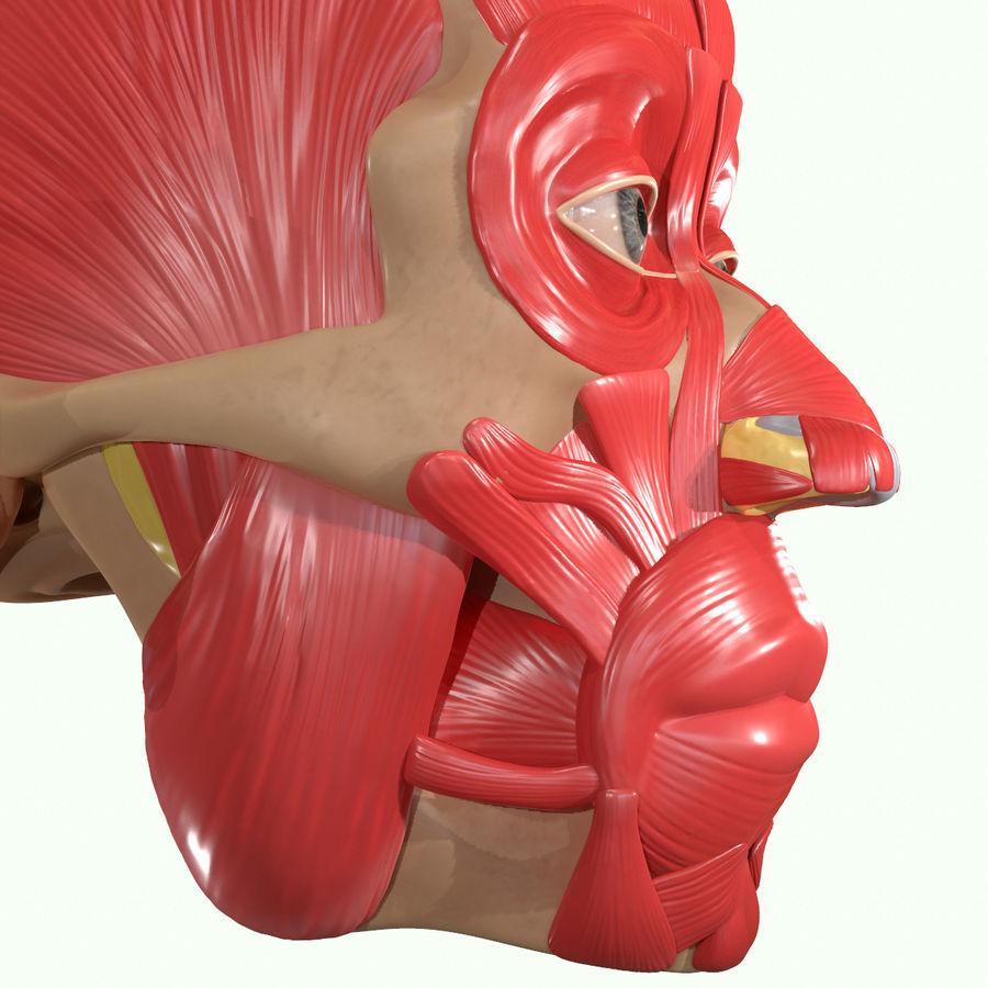 Anatomie musculaire de la tête complète royalty-free 3d model - Preview no. 22