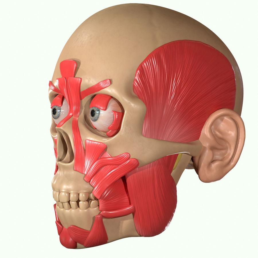 Anatomie musculaire de la tête complète royalty-free 3d model - Preview no. 33