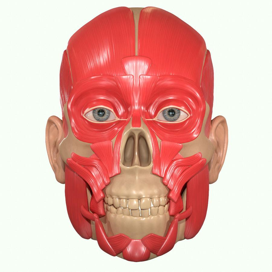 Anatomie musculaire de la tête complète royalty-free 3d model - Preview no. 18