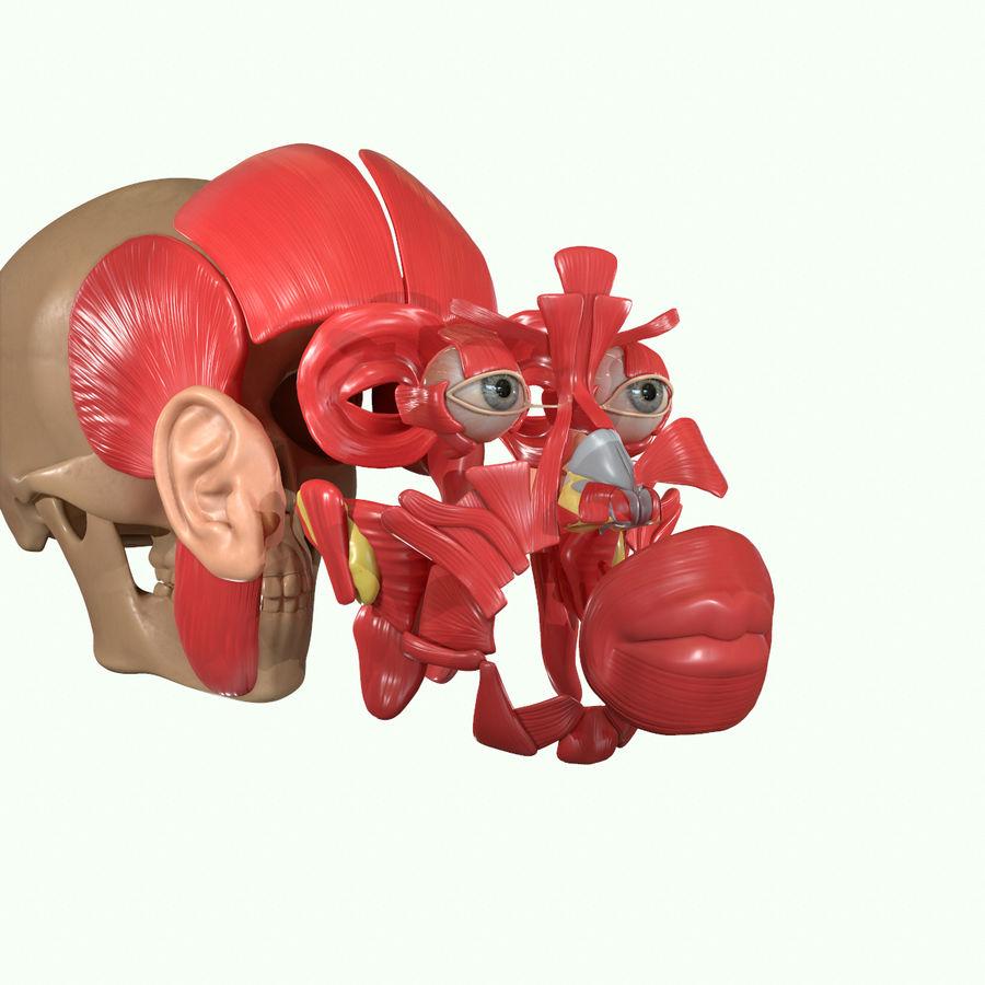 Anatomie musculaire de la tête complète royalty-free 3d model - Preview no. 35