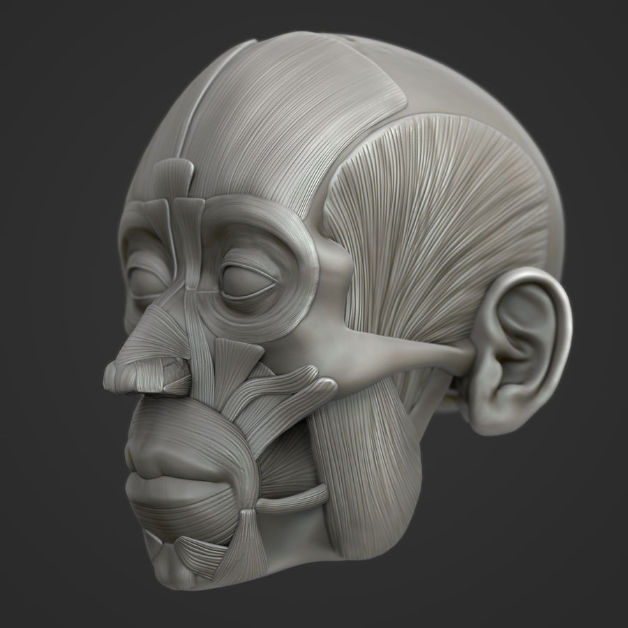 Anatomie musculaire de la tête complète royalty-free 3d model - Preview no. 4