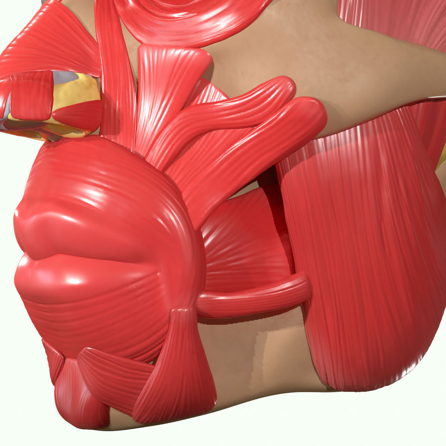 Anatomie musculaire de la tête complète royalty-free 3d model - Preview no. 24