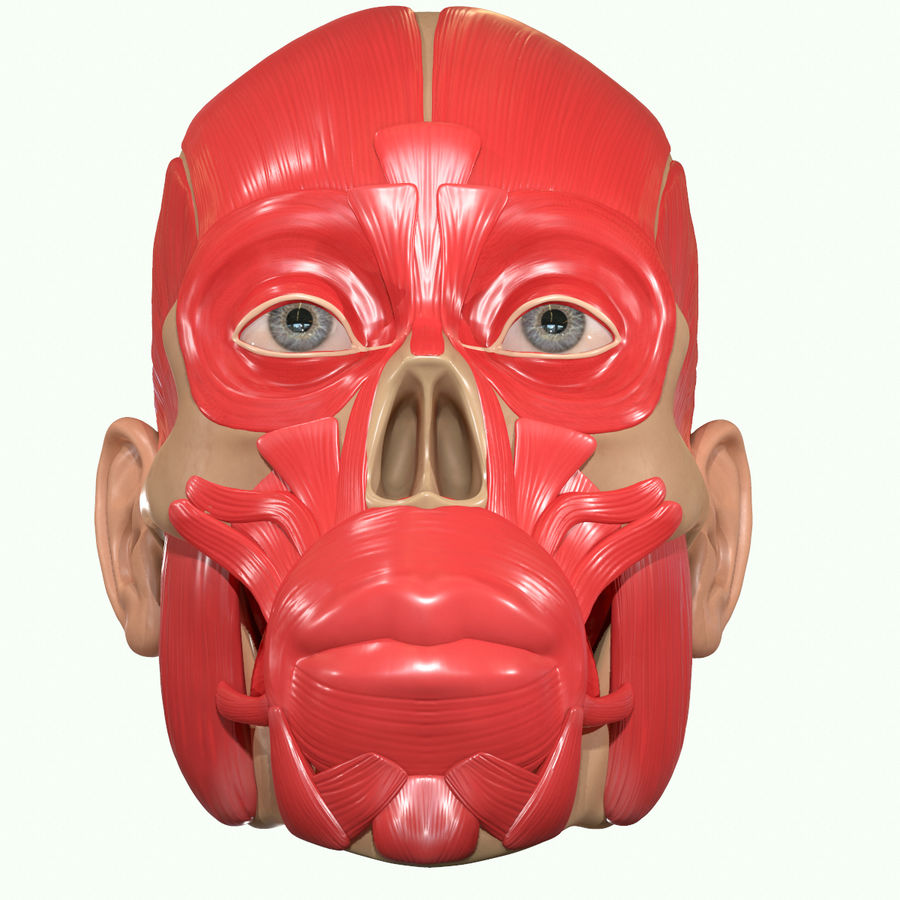 Anatomie musculaire de la tête complète royalty-free 3d model - Preview no. 32