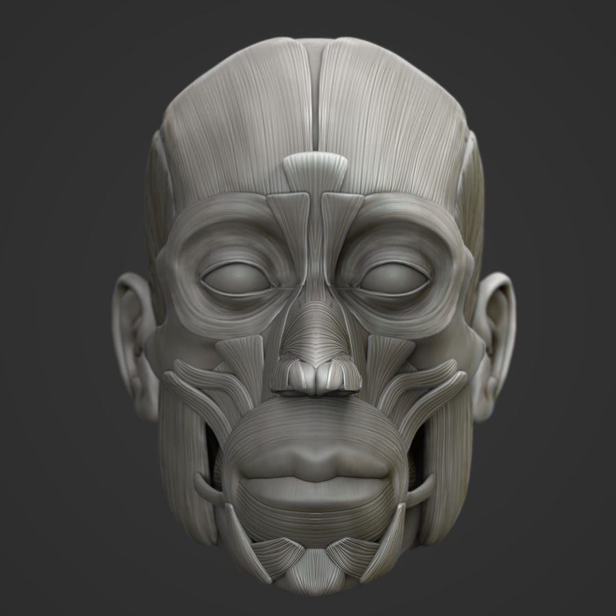Anatomie musculaire de la tête complète royalty-free 3d model - Preview no. 2