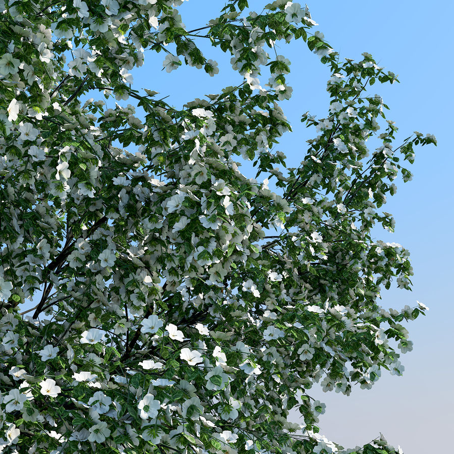 Cherry Blossom royalty-free 3d model - Preview no. 3