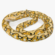 Pose de serpent python jaune enroulé 3d model
