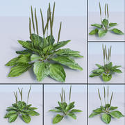 piantaggine, fleaworts, Plantago 3d model