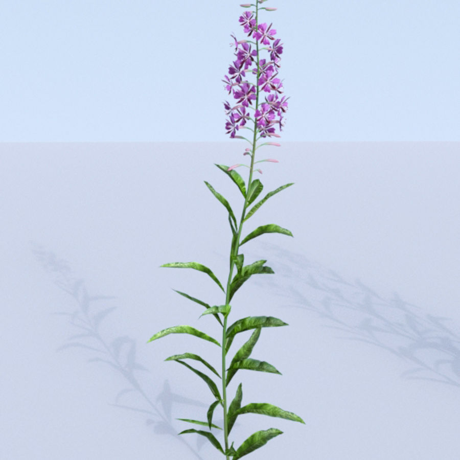 Fireweed set. Chamaenerion angustifolium royalty-free 3d model - Preview no. 10