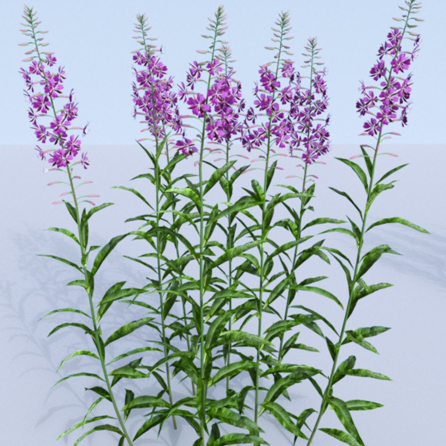 Fireweed set. Chamaenerion angustifolium royalty-free 3d model - Preview no. 4
