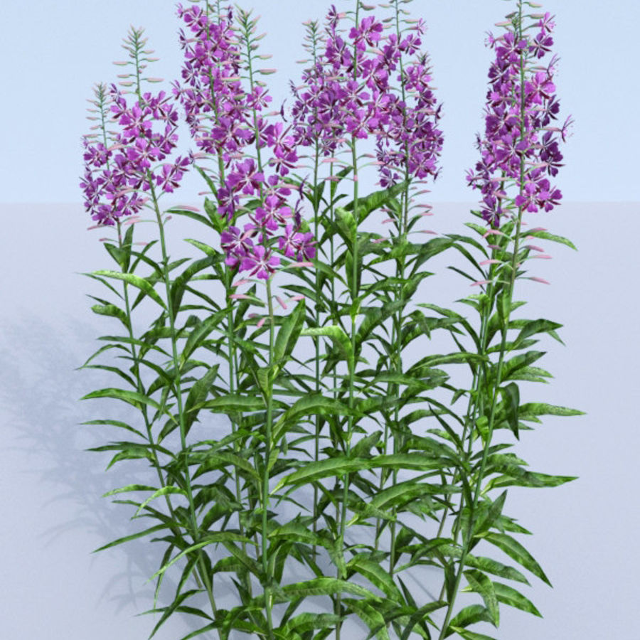 Fireweed set. Chamaenerion angustifolium royalty-free 3d model - Preview no. 2