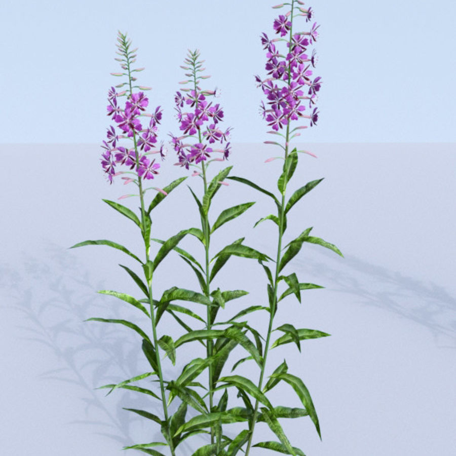 Fireweed set. Chamaenerion angustifolium royalty-free 3d model - Preview no. 8
