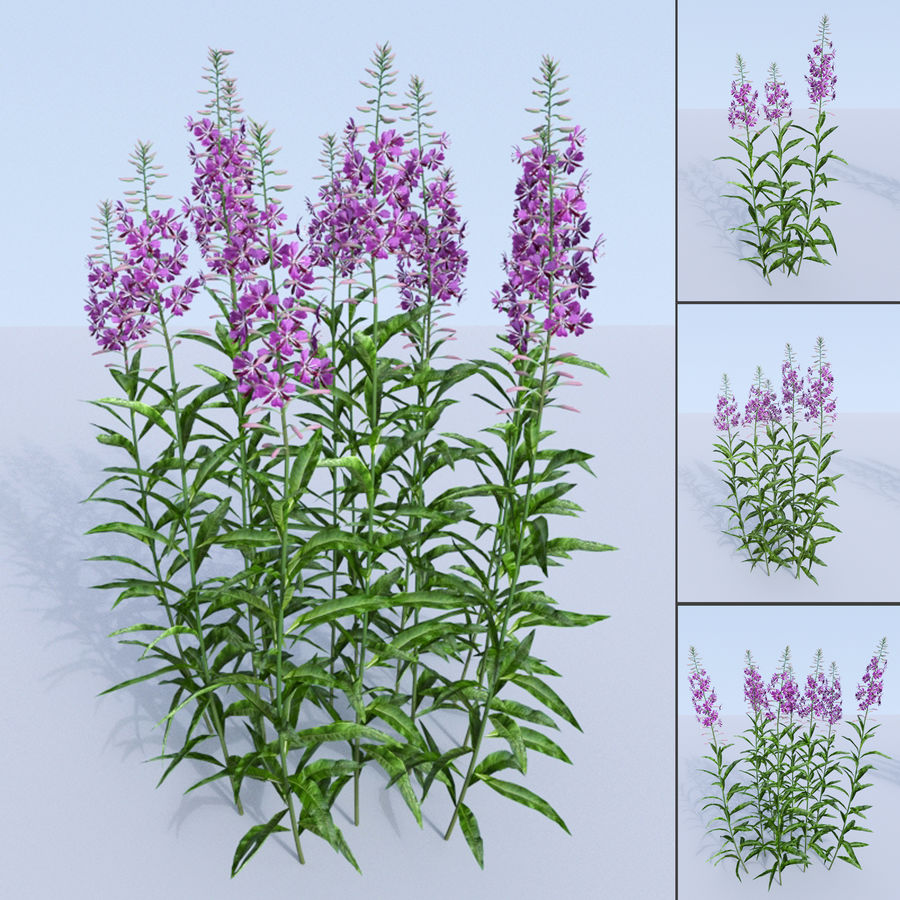 Fireweed set. Chamaenerion angustifolium royalty-free 3d model - Preview no. 1