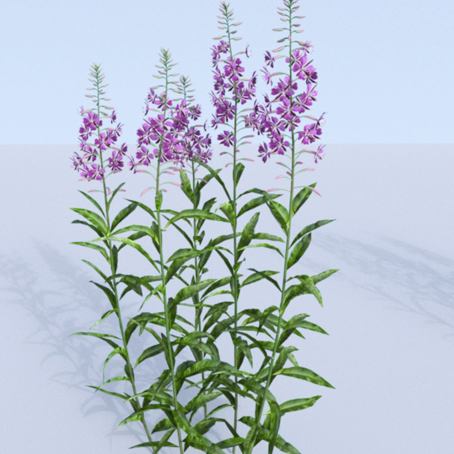 Fireweed set. Chamaenerion angustifolium royalty-free 3d model - Preview no. 6