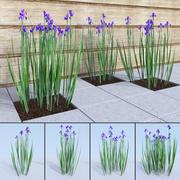 Siberian iris set - Iris sibirica 3d model