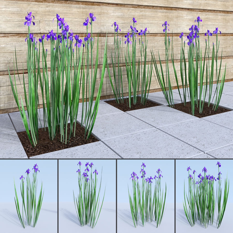 Siberian iris set - Iris sibirica royalty-free 3d model - Preview no. 1
