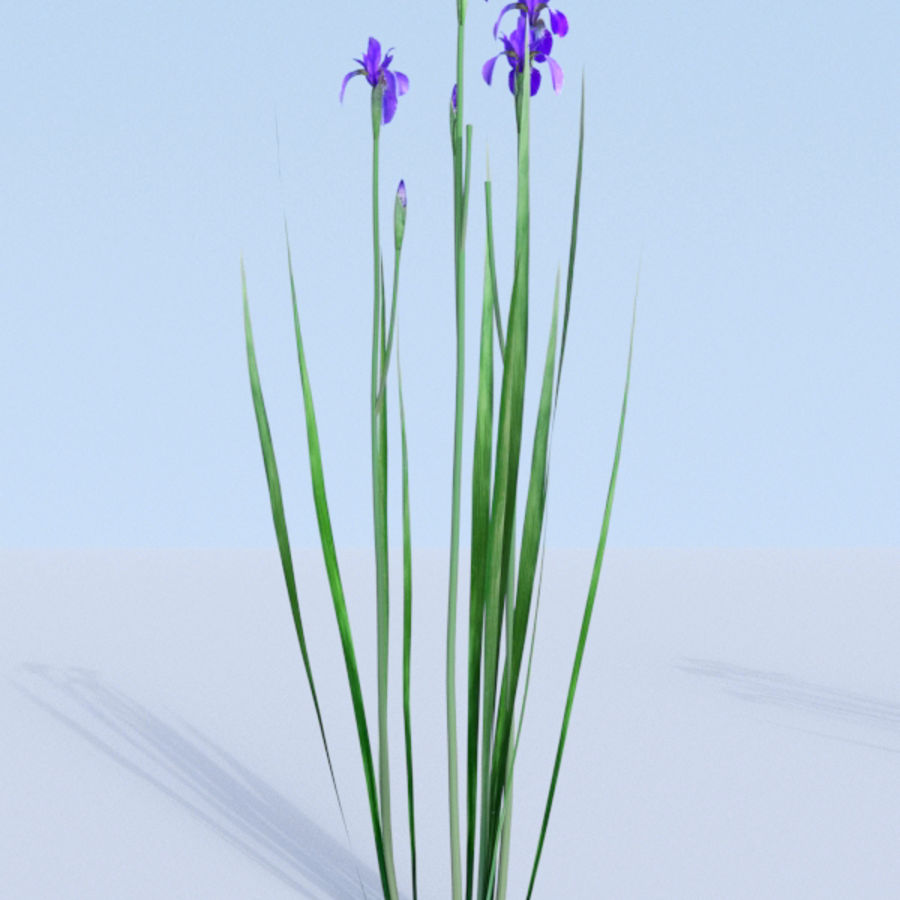 Siberian iris set - Iris sibirica royalty-free 3d model - Preview no. 8