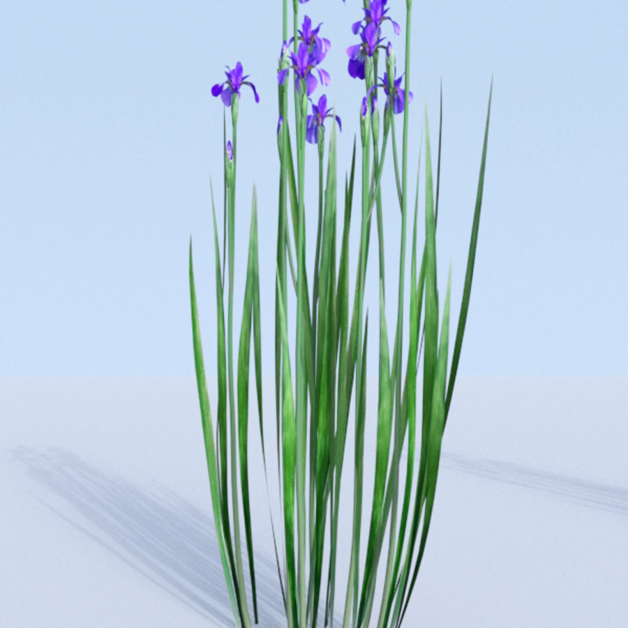 Siberian iris set - Iris sibirica royalty-free 3d model - Preview no. 12