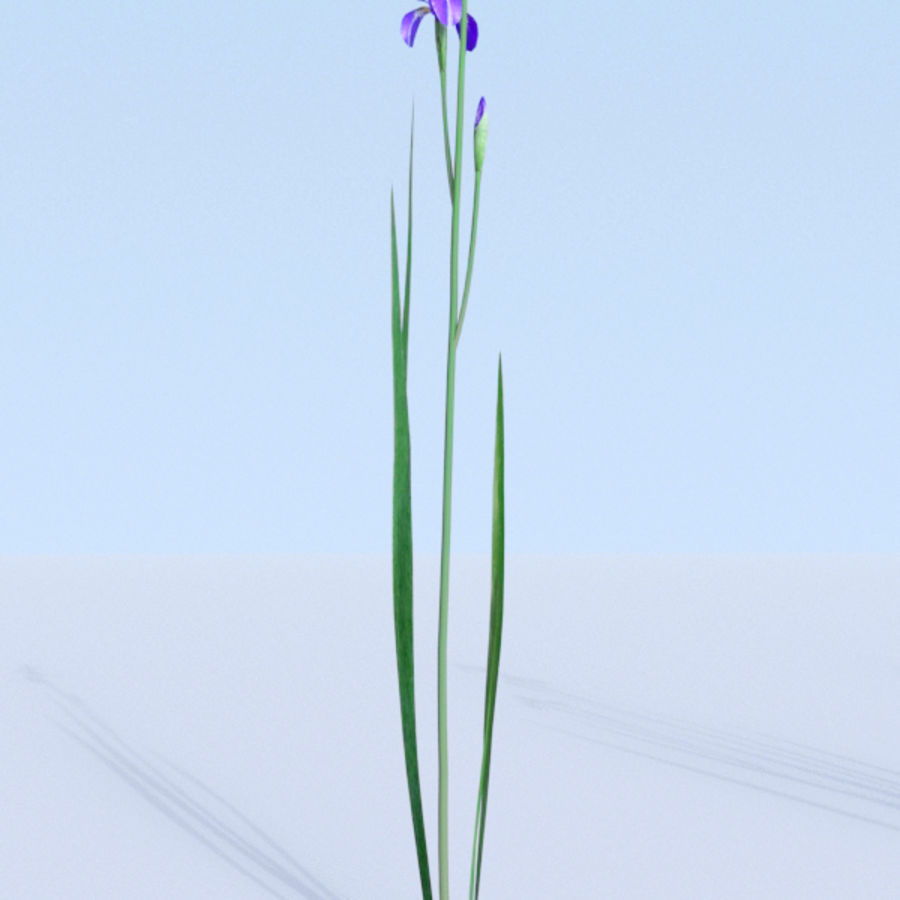Siberian iris set - Iris sibirica royalty-free 3d model - Preview no. 4