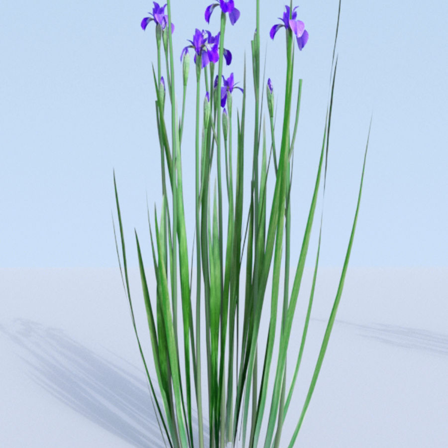 Siberian iris set - Iris sibirica royalty-free 3d model - Preview no. 14