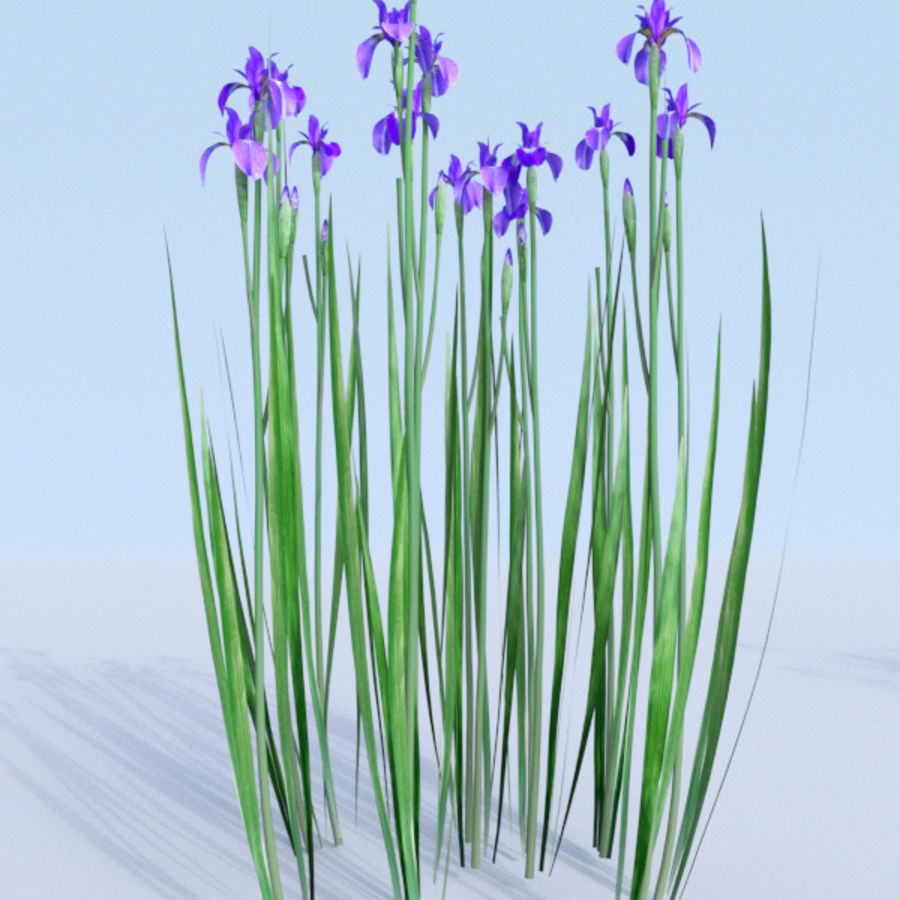 Siberian iris set - Iris sibirica royalty-free 3d model - Preview no. 18