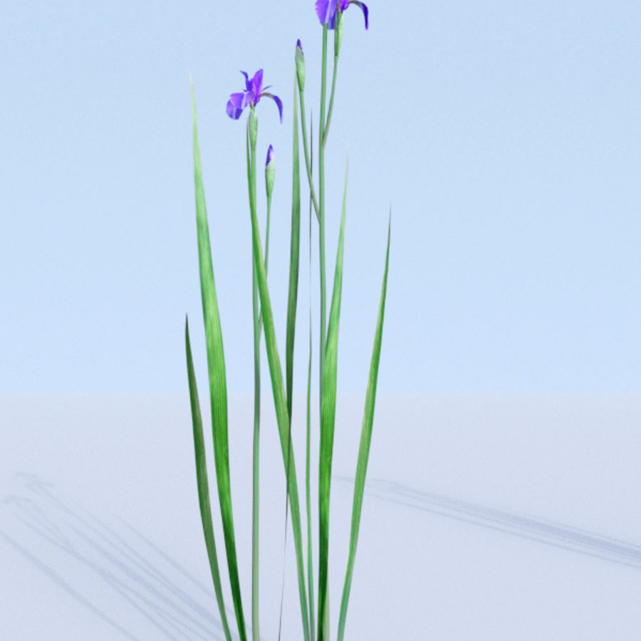 Siberian iris set - Iris sibirica royalty-free 3d model - Preview no. 6