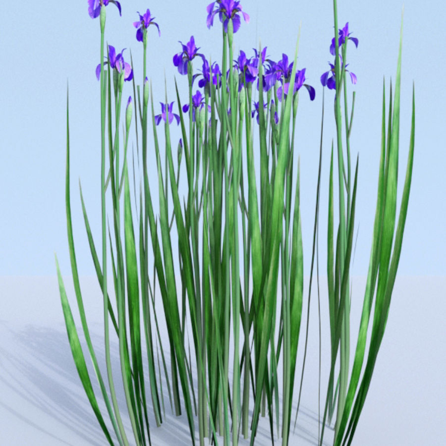 Siberian iris set - Iris sibirica royalty-free 3d model - Preview no. 2