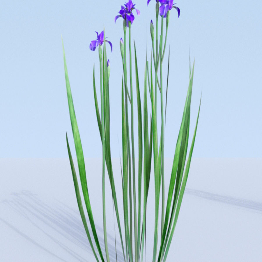 Siberian iris set - Iris sibirica royalty-free 3d model - Preview no. 10