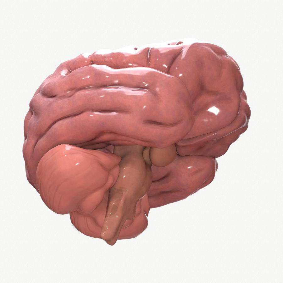 Brain Human Anatomy royalty-free 3d model - Preview no. 4