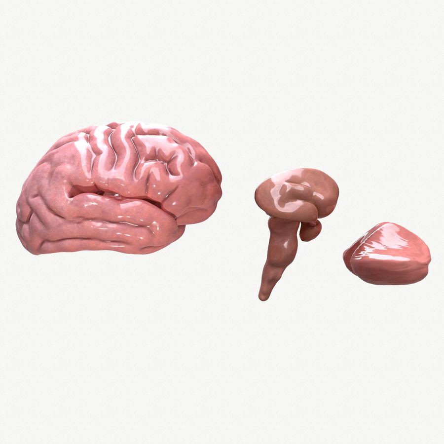 Brain Human Anatomy royalty-free 3d model - Preview no. 6