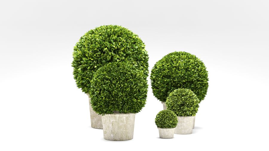Boxwood Trees royalty-free 3d model - Preview no. 4