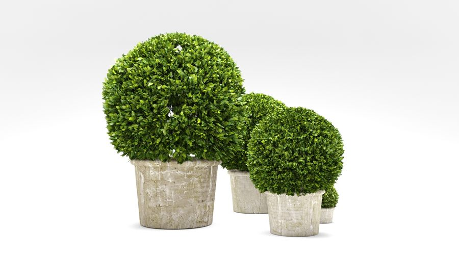 Boxwood Trees royalty-free 3d model - Preview no. 5