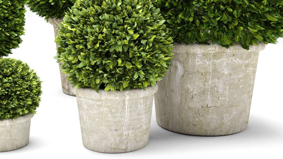 Boxwood Trees royalty-free 3d model - Preview no. 6