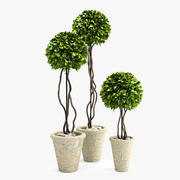 Boxwood Trees 3d model
