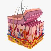 Anatomia da pele 3d model