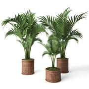 Palm Howea 3d model