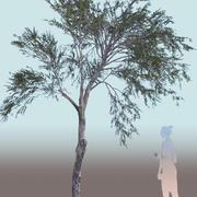Olea europaea oliveira jovem A 3d model