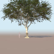 Ficus nitida mature tree 3d model