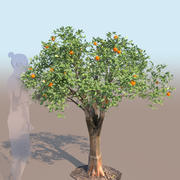 Citrus reticulata mandarin tree young 3d model