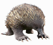 Tachyglossus aculeatus (Static) 3d model