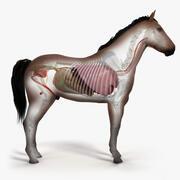 马皮,骨骼和器官 3d model