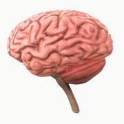 人間の脳 3d model