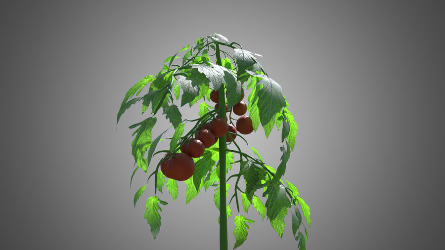 Tomato Plant royalty-free 3d model - Preview no. 3