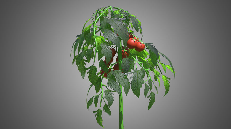 Tomato Plant royalty-free 3d model - Preview no. 1