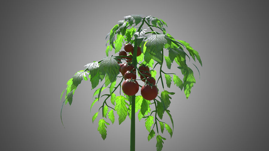 Tomato Plant royalty-free 3d model - Preview no. 2