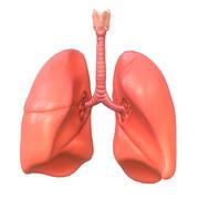 Ludzkie płuca 3d model