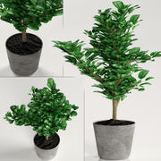 Indoor plants: decorative ficus 3d model