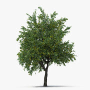Pear Tree with Pears 3d model